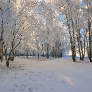 Birch trees laden with ice. Photo credit: Gorben